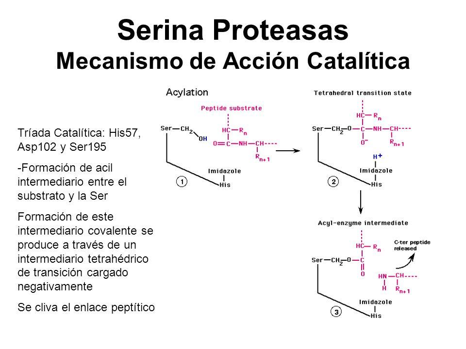 Serina Proteasas Mecanismo de Acción Catalítica Tríada Catalítica: His57, Asp102 y Ser195 -Formación de acil intermediario entre el substrato y la Ser
