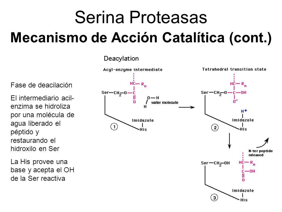 Serina Proteasas Mecanismo de Acción Catalítica (cont.) Fase de deacilación El intermediario acil- enzima se hidroliza por una molécula de agua libera