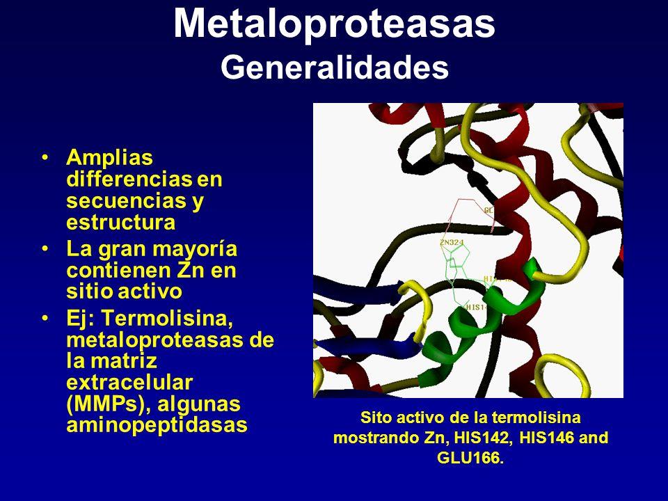 Metaloproteasas Generalidades Amplias differencias en secuencias y estructura La gran mayoría contienen Zn en sitio activo Ej: Termolisina, metaloprot