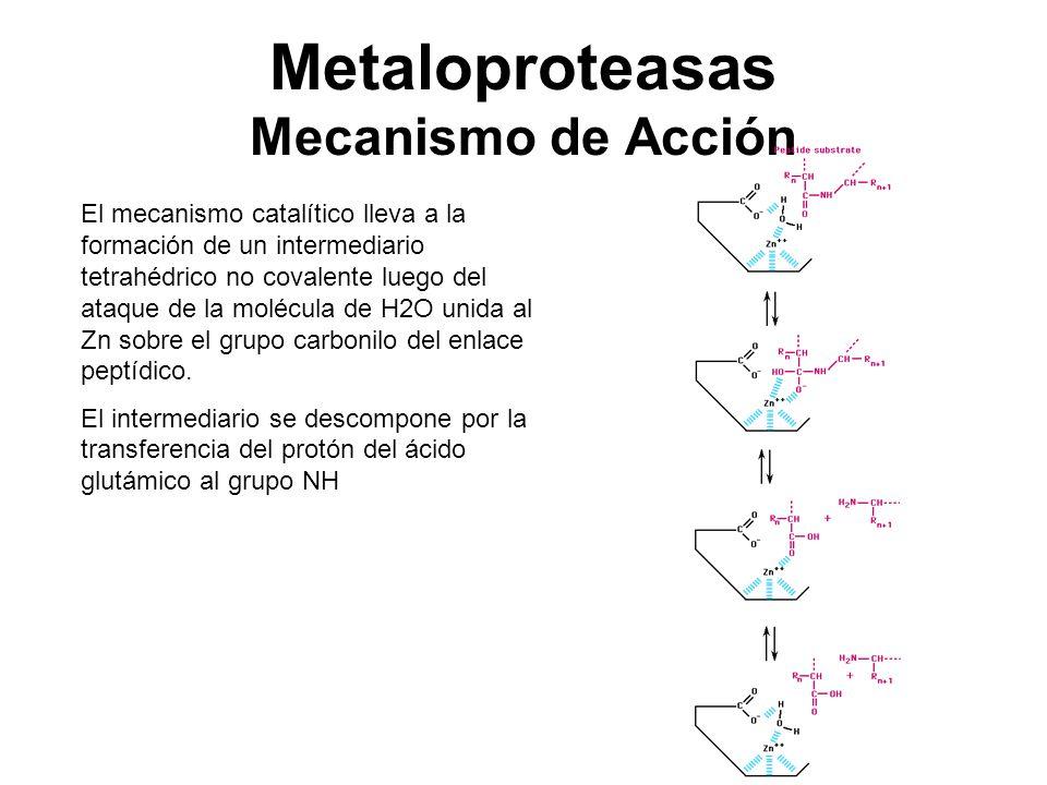 Metaloproteasas Mecanismo de Acción El mecanismo catalítico lleva a la formación de un intermediario tetrahédrico no covalente luego del ataque de la