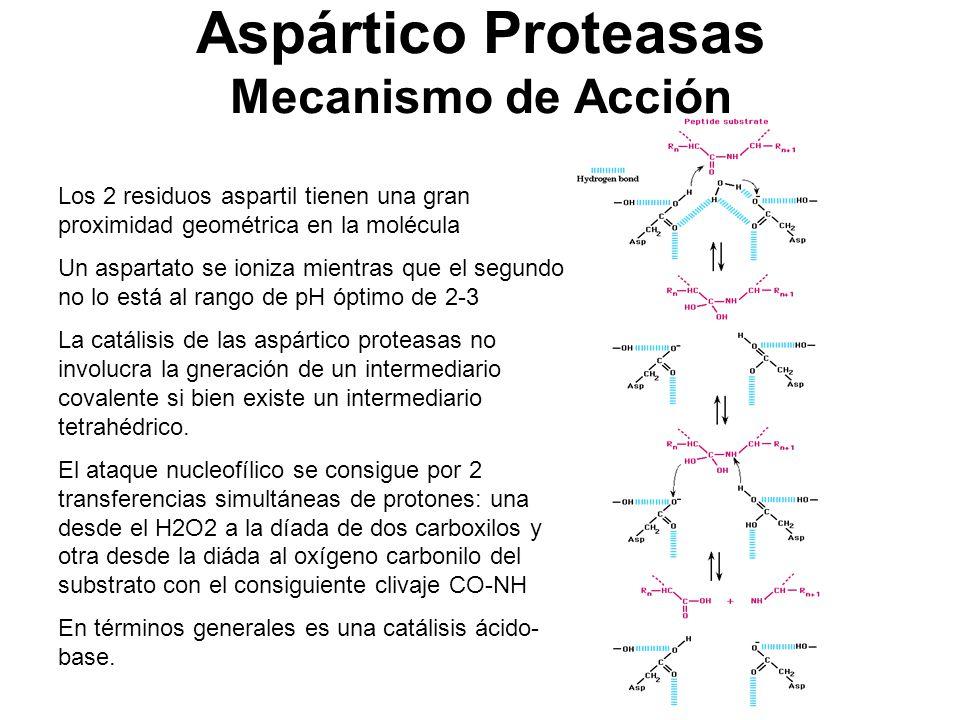 Aspártico Proteasas Mecanismo de Acción Los 2 residuos aspartil tienen una gran proximidad geométrica en la molécula Un aspartato se ioniza mientras q