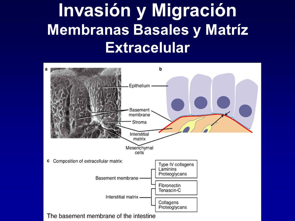 Invasión y Migración Membranas Basales y Matríz Extracelular