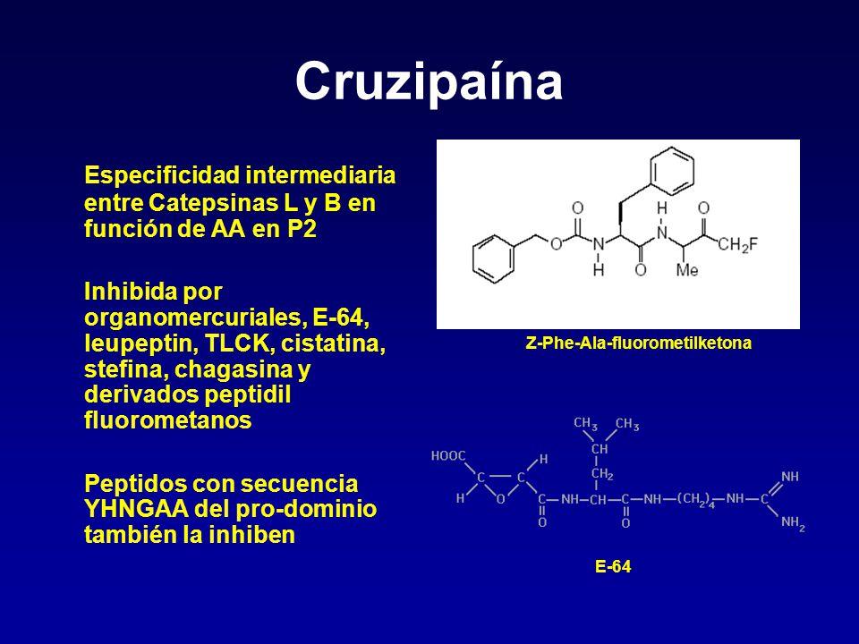 Cruzipaína Especificidad intermediaria entre Catepsinas L y B en función de AA en P2 Inhibida por organomercuriales, E-64, leupeptin, TLCK, cistatina,