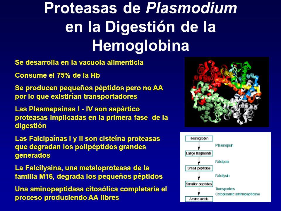 Proteasas de Plasmodium en la Digestión de la Hemoglobina Se desarrolla en la vacuola alimenticia Consume el 75% de la Hb Se producen pequeños péptido