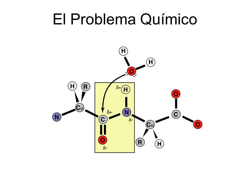 Cisteína Proteasas Mecanismo de Acción Catalítica La catálisis también se produce a través de la formación de un intermediario covalente e involucra a Cys e His El nucleófilo es en este caso un ion tiolato en lugar de un grupo hidroxilo El tiolatio se estabiliza por la formación de un par iónico con el imidazol vecino en la His El ataque nuclefílico es en este caso el par iónico tiolato- imidazol en ambos pasos, por tanto no se requiere una molécula de H 2 O 2