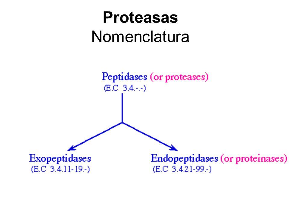 Metaloproteasas Generalidades Amplias differencias en secuencias y estructura La gran mayoría contienen Zn en sitio activo Ej: Termolisina, metaloproteasas de la matriz extracelular (MMPs), algunas aminopeptidasas Sito activo de la termolisina mostrando Zn, HIS142, HIS146 and GLU166.