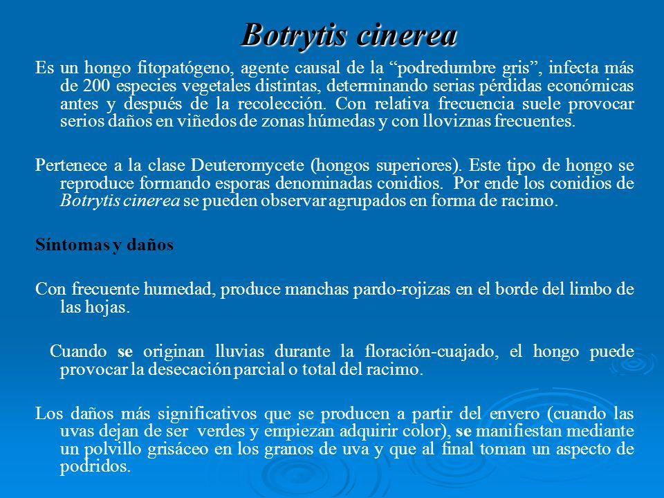 Botrytis cinerea Es un hongo fitopatógeno, agente causal de la podredumbre gris, infecta más de 200 especies vegetales distintas, determinando serias