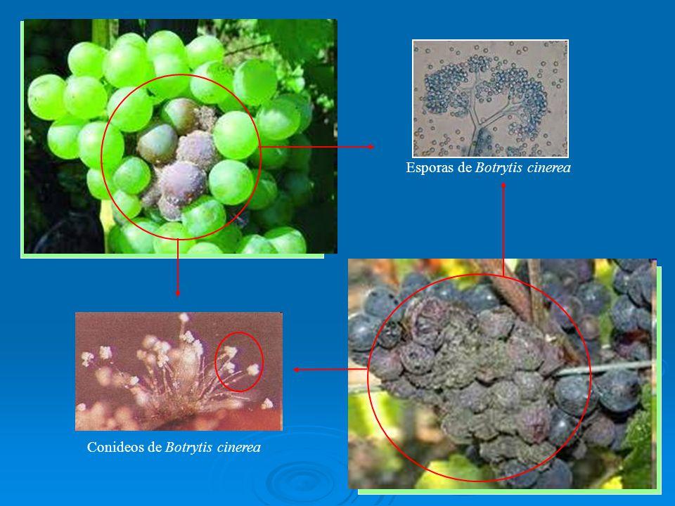Esporas de Botrytis cinerea Conideos de Botrytis cinerea