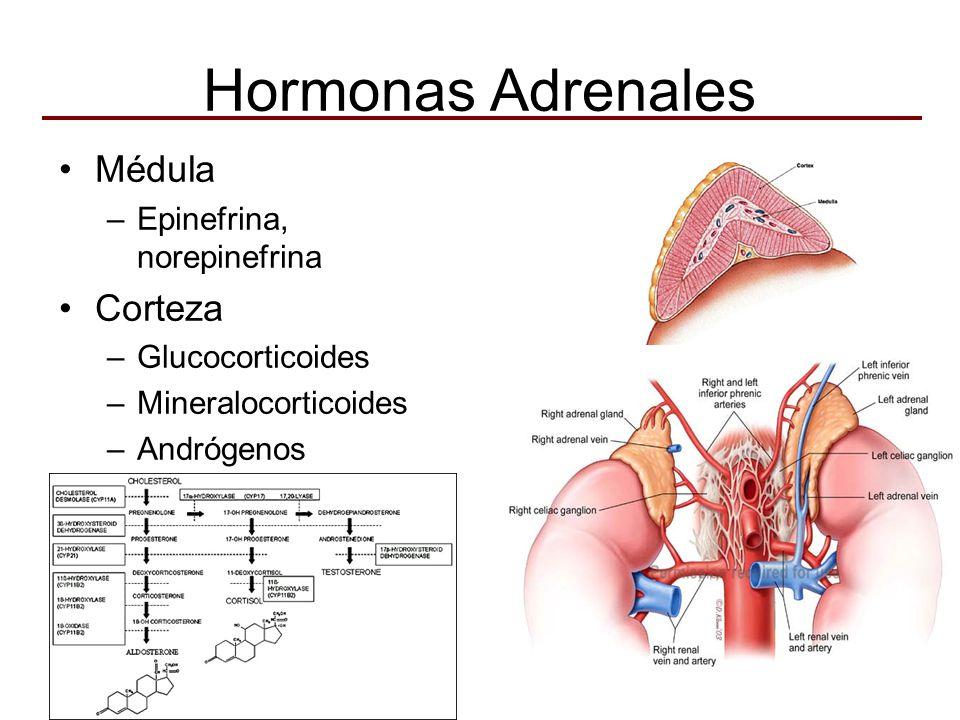 Hormonas Adrenales Médula –Epinefrina, norepinefrina Corteza –Glucocorticoides –Mineralocorticoides –Andrógenos