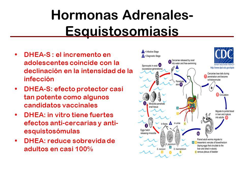 Hormonas Adrenales- Esquistosomiasis DHEA-S : el incremento en adolescentes coincide con la declinación en la intensidad de la infección DHEA-S: efecto protector casi tan potente como algunos candidatos vaccinales DHEA: in vitro tiene fuertes efectos anti-cercarias y anti- esquistosómulas DHEA: reduce sobrevida de adultos en casi 100%