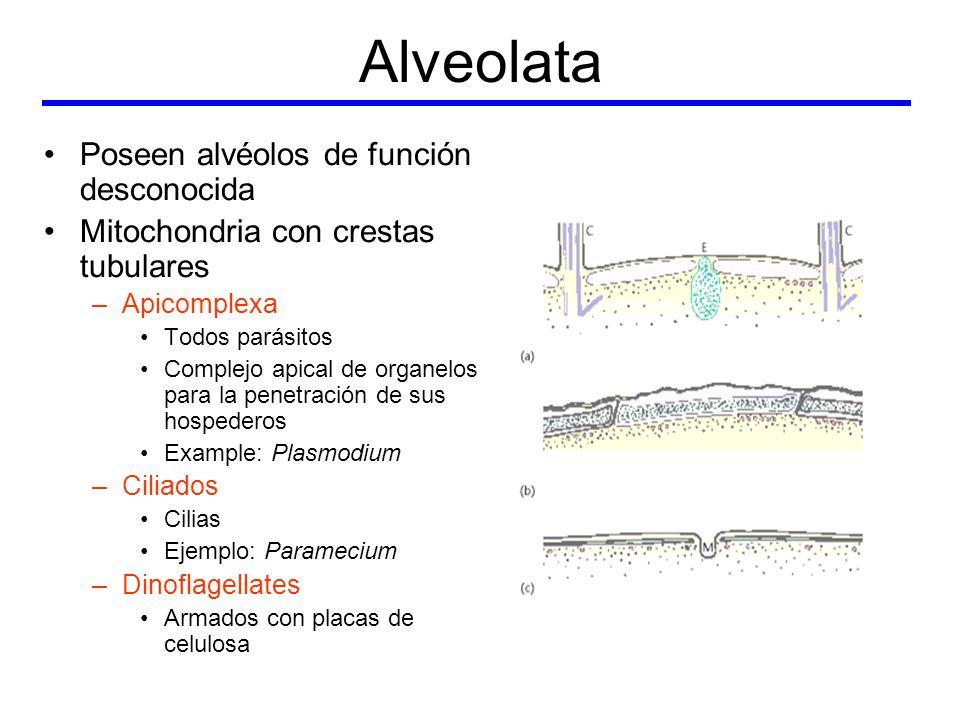 Alveolata Poseen alvéolos de función desconocida Mitochondria con crestas tubulares –Apicomplexa Todos parásitos Complejo apical de organelos para la