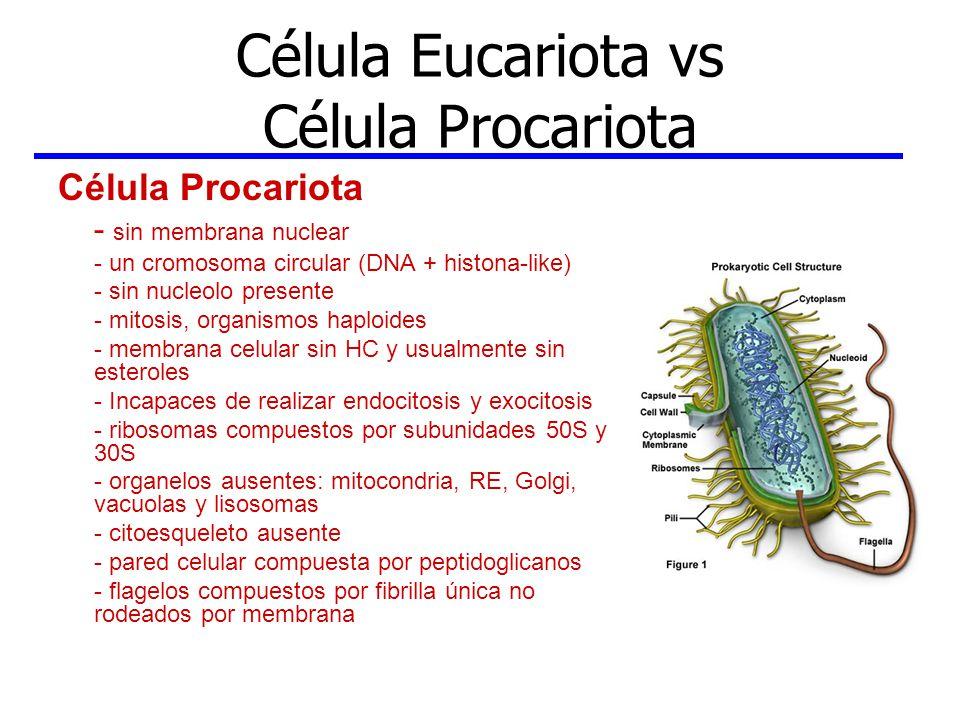 Célula Eucariota vs Célula Procariota Célula Eucariota -membrana nuclear con poros que comunican con RE - uno o más pares de cromosomas lineares (DNA +histonas) - nucleolo presente - mitosis, meiosis en gametos - membrana celular contiene esteroles y HC - endocitosis y exocitosis - ribosomas compuestos por subunidades 60S y 40S - organelos: mitocondria, RE, Golgi, vacuolas y lisosomas - citoesqueleto presente - pared celular en plantas, algas y hongos con celulosa y quitina, las células animales carecen de pared celular - cilias y flagelos rodeados por membrana