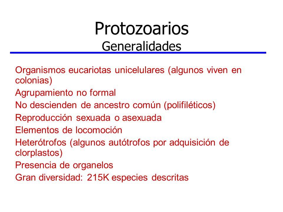 Protozoarios Generalidades Organismos eucariotas unicelulares (algunos viven en colonias) Agrupamiento no formal No descienden de ancestro común (poli