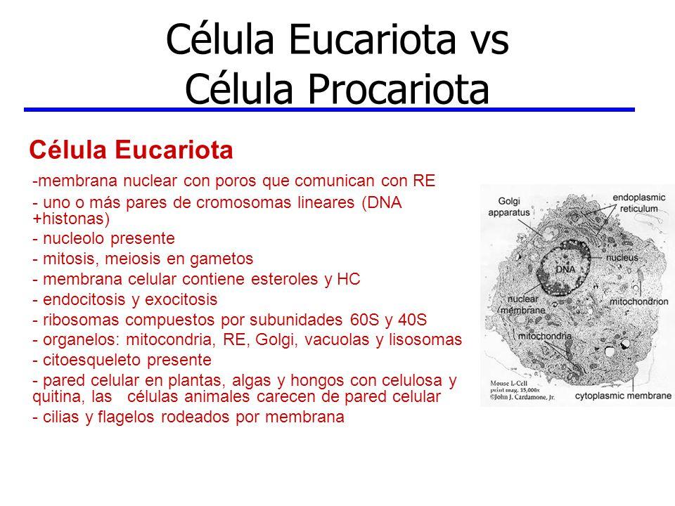Célula Eucariota vs Célula Procariota Célula Eucariota -membrana nuclear con poros que comunican con RE - uno o más pares de cromosomas lineares (DNA