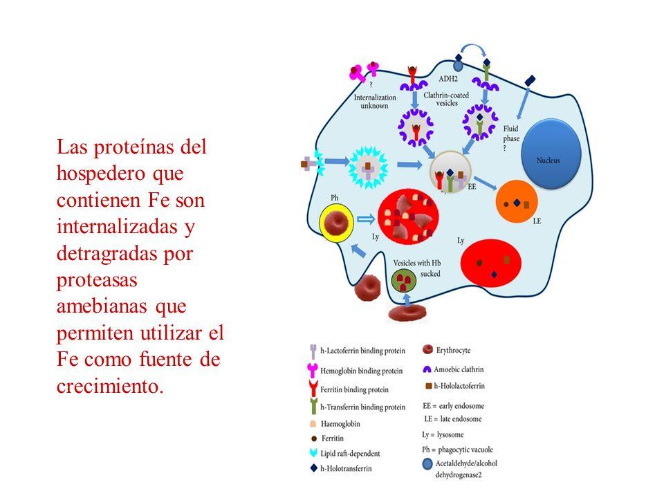 Las proteínas del hospedero que contienen Fe son internalizadas y detragradas por proteasas amebianas que permiten utilizar el Fe como fuente de creci