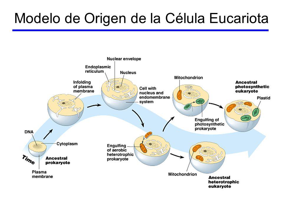 Stramenopila –Previamente llamadas algas heterokontas –Mitocondrias con crestas tubulares –2 flagelos en algún estadio Uno liso Uno piloso –Algas marrones –Algas doradas –Oomicetos –Diatomeas
