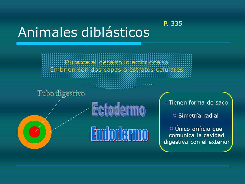 Animales diblásticos Durante el desarrollo embrionario Embrión con dos capas o estratos celulares Tienen forma de saco Simetría radial Único orificio que comunica la cavidad digestiva con el exterior P.