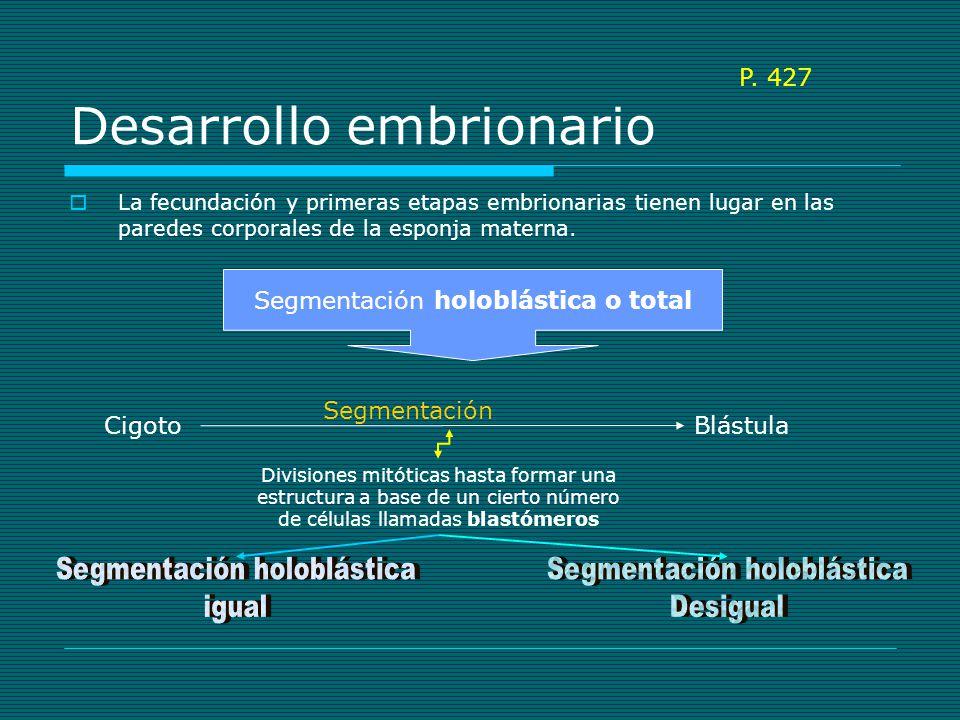 Desarrollo embrionario BlástulaGástrula Gastrulación Larva flagelada Escapa hacia el exterior por los poros La larva nada unas horas Se acaba adhiriendo a un sustrato Las células flageladas se acaban dirigiendo hacia el interior Se acaban convirtiendo en coanocitos internos