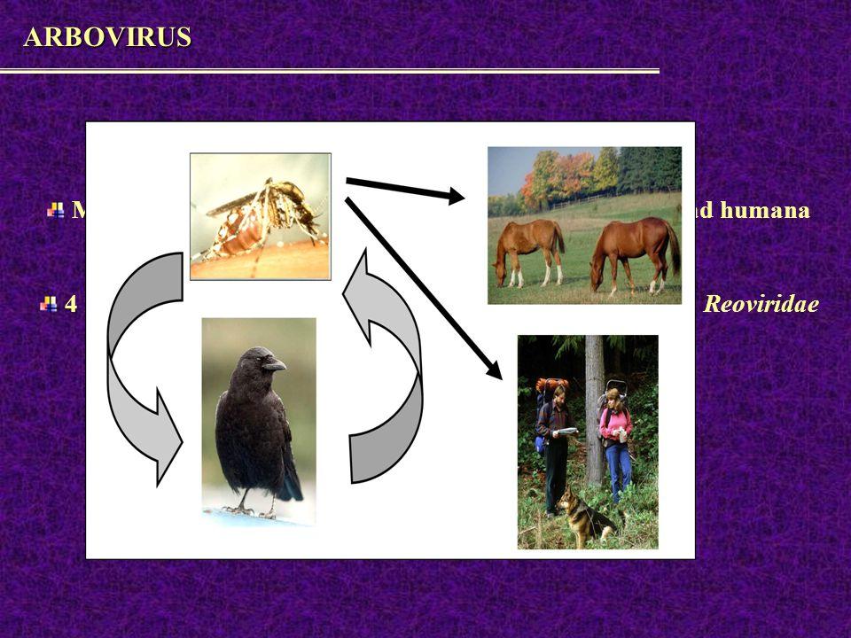 ARBOVIRUS Virus transmitidos por artrópodos Más de 124 virus diferentes se han asociado a enfermedad humana ARN 4 flias relevantes: Togaviridae, Bunyaviridae, Flaviviridae, Reoviridae zoonosos Vector más fc mosquito