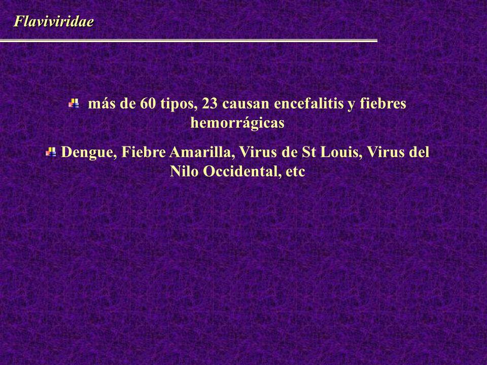 HANTAVIRUS – Epidemiología 1951 rió Hantang guerra de Corea (Hantavirus del viejo mundo) 1993 EEUU IRA, shock,mortalidad 80% (SPH) (Hantavirus del nuevo mundo) 1995 Chile y Argentina 1996 nueva especie Andes 1997 SPH Uruguay.