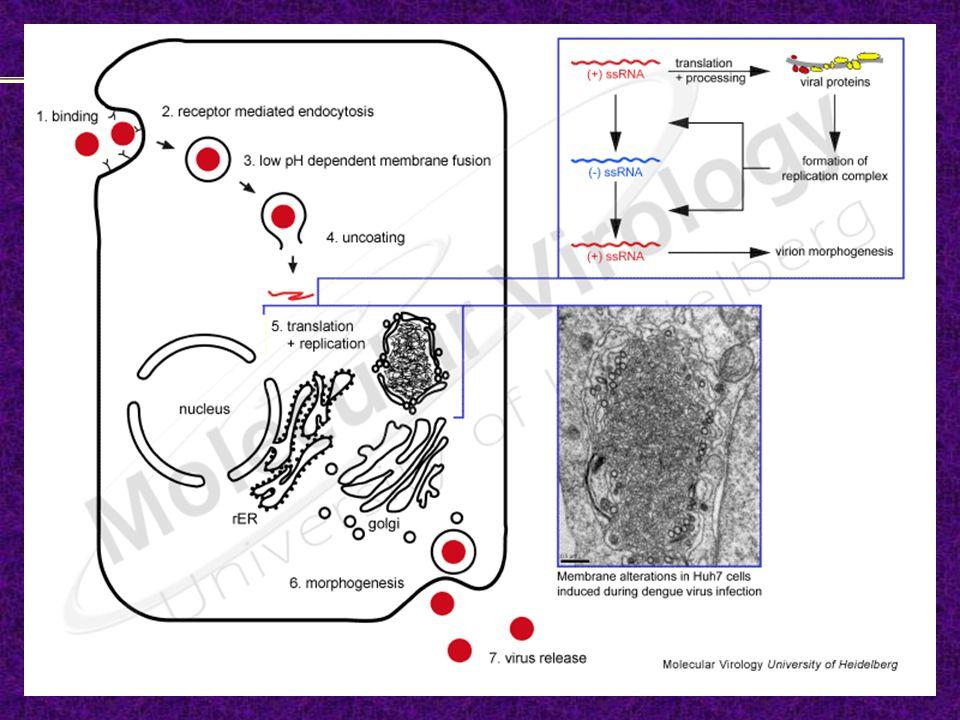 Orthomixoviridae – Morfología y estructura