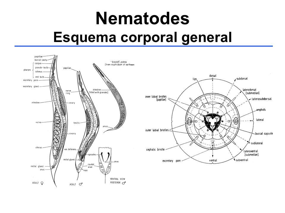 Nematodes Esquema corporal general