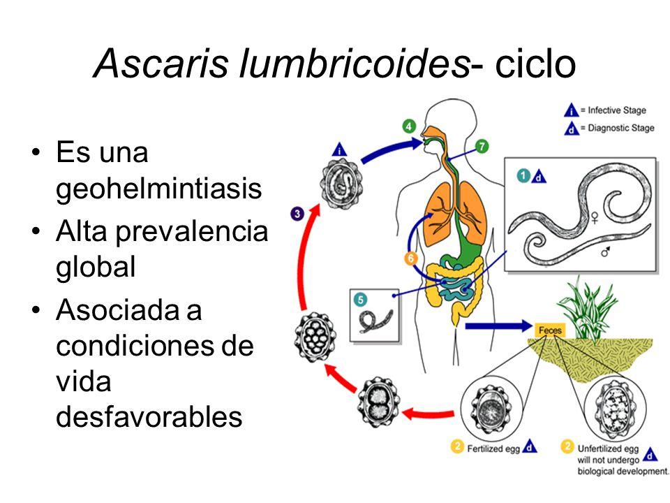 Ascaris lumbricoides- ciclo Es una geohelmintiasis Alta prevalencia global Asociada a condiciones de vida desfavorables