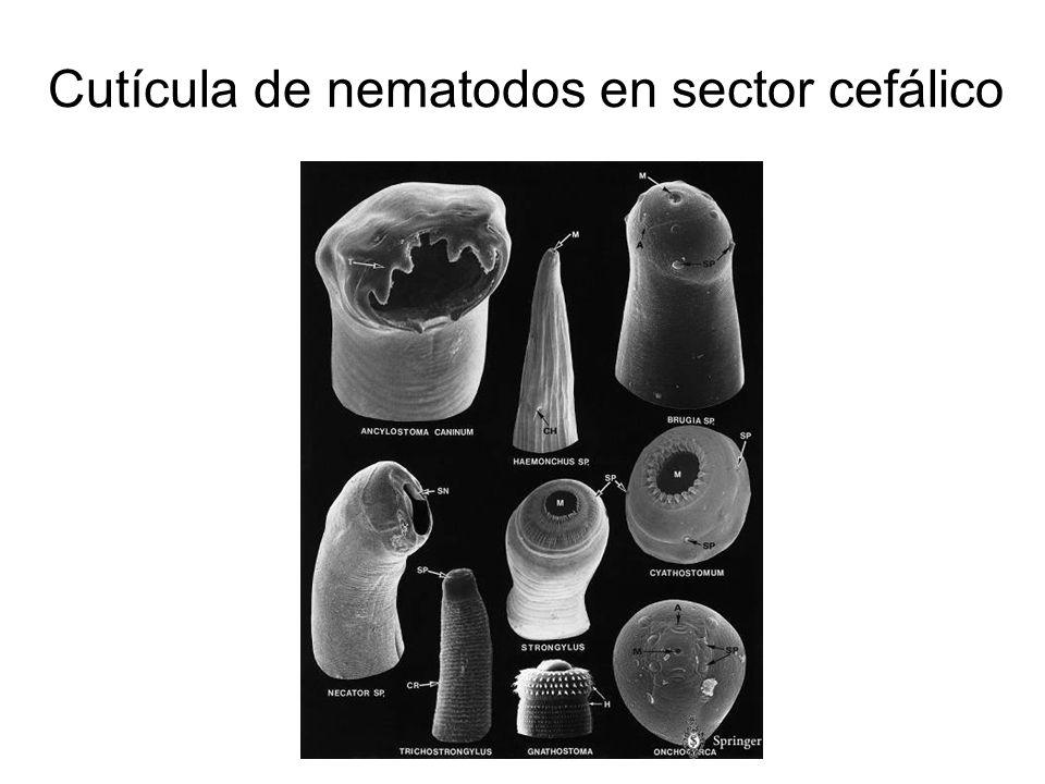 Cutícula de nematodos en sector cefálico