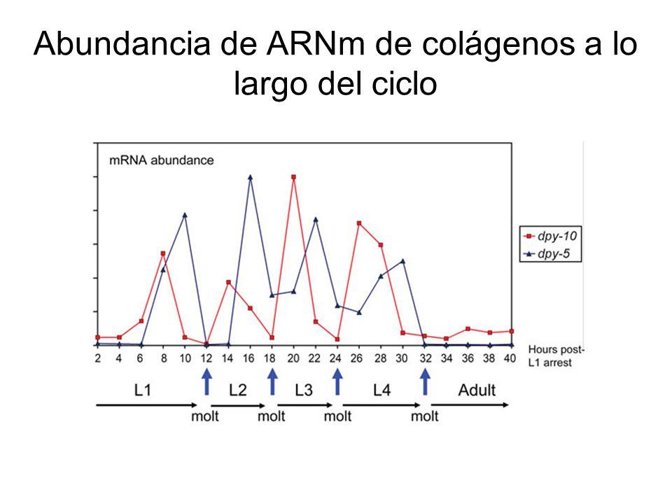 Abundancia de ARNm de colágenos a lo largo del ciclo