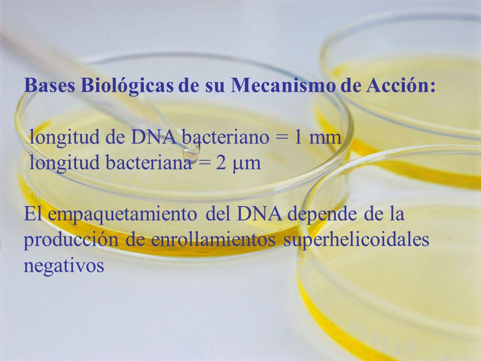 Bases Biológicas de su Mecanismo de Acción: longitud de DNA bacteriano = 1 mm longitud bacteriana = 2 m El empaquetamiento del DNA depende de la producción de enrollamientos superhelicoidales negativos