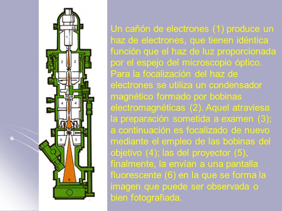 Un cañón de electrones (1) produce un haz de electrones, que tienen idéntica función que el haz de luz proporcionada por el espejo del microscopio óptico.
