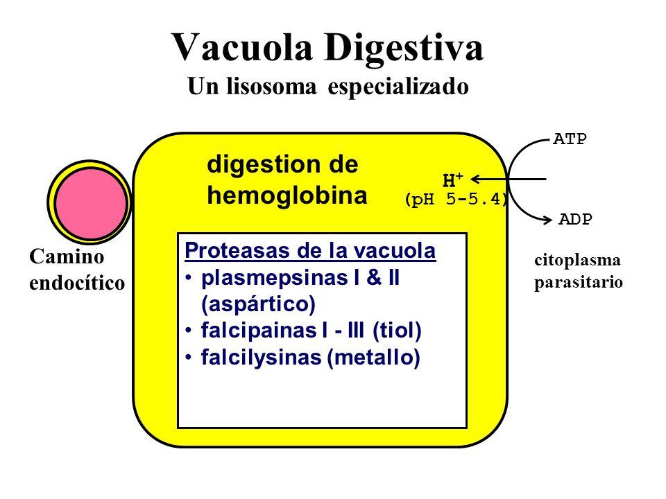 Vacuola Digestiva Un lisosoma especializado ATP ADP H+H+ (pH 5-5.4) Proteasas de la vacuola plasmepsinas I & II (aspártico) falcipainas I - III (tiol) falcilysinas (metallo) digestion de hemoglobina citoplasma parasitario Camino endocítico