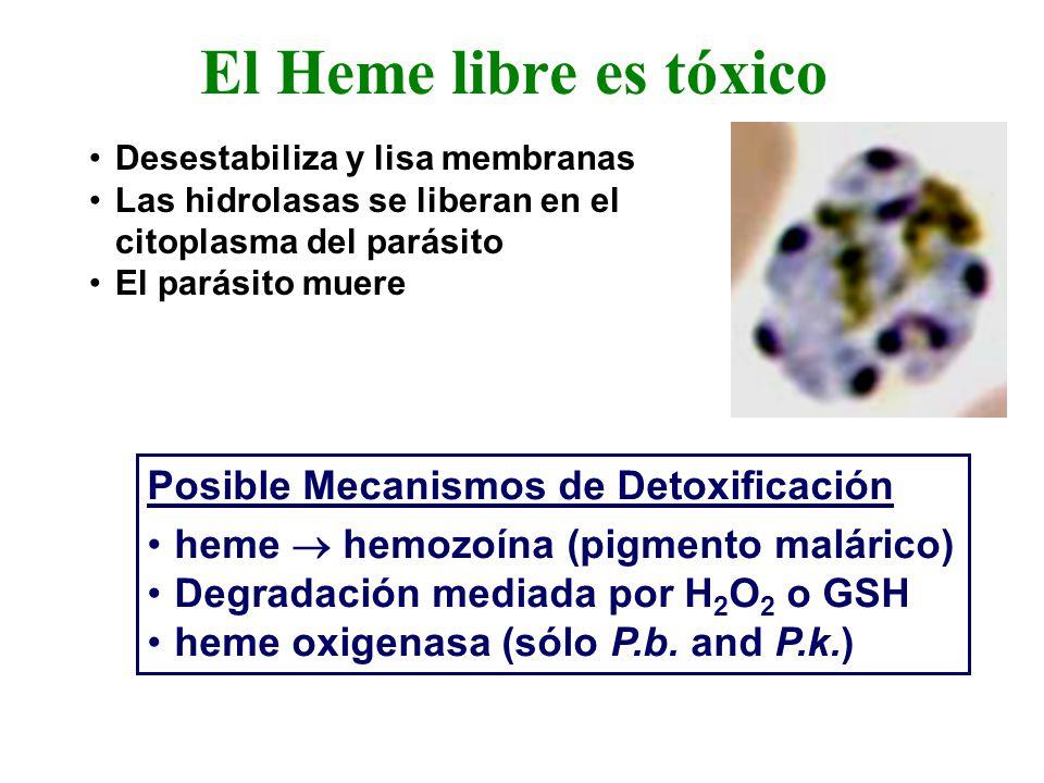 Desestabiliza y lisa membranas Las hidrolasas se liberan en el citoplasma del parásito El parásito muere El Heme libre es tóxico Posible Mecanismos de Detoxificación heme hemozoína (pigmento malárico) Degradación mediada por H 2 O 2 o GSH heme oxigenasa (sólo P.b.