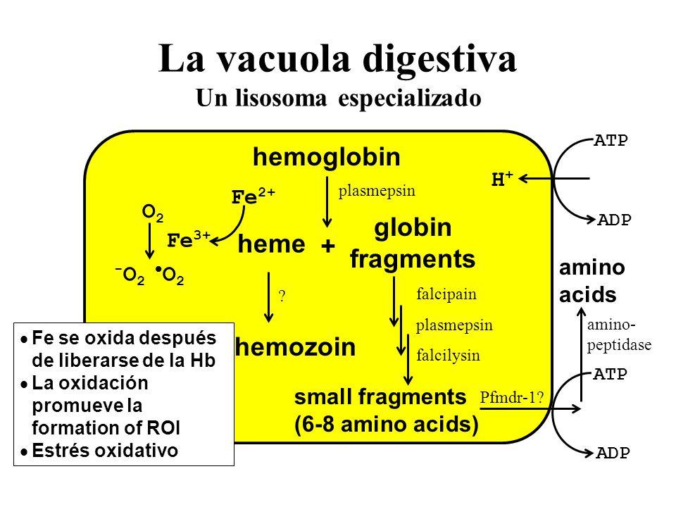 La vacuola digestiva Un lisosoma especializado hemoglobin + heme globin fragments small fragments (6-8 amino acids) hemozoin ATP ADP ATP ADP H+H+ Fe 3+ Fe 2+ O2O2 - O 2 O 2 .