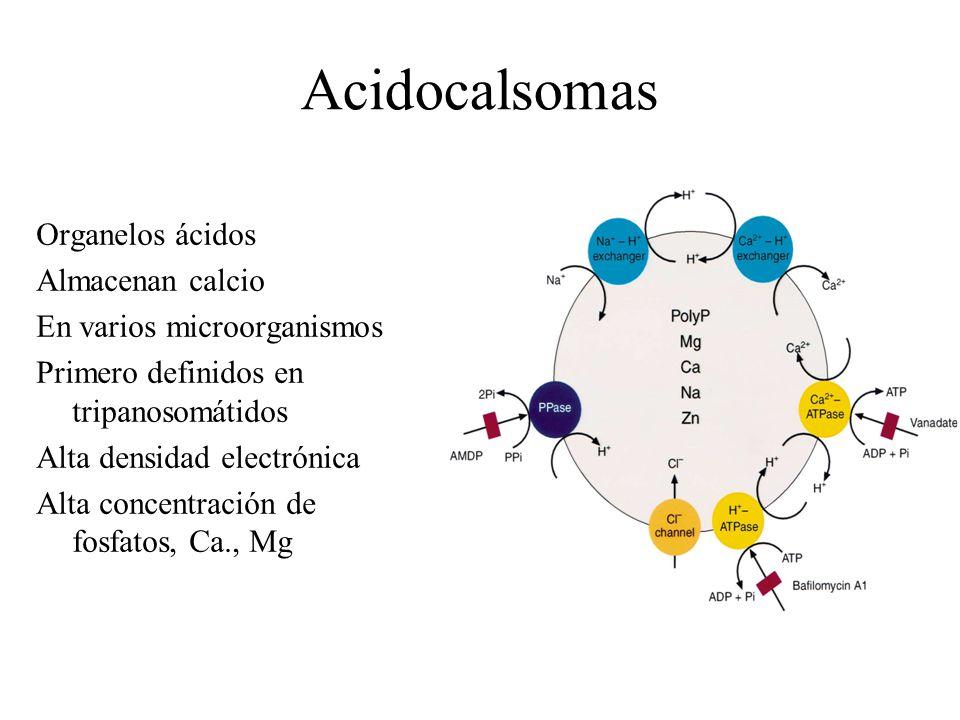 Acidocalsomas Organelos ácidos Almacenan calcio En varios microorganismos Primero definidos en tripanosomátidos Alta densidad electrónica Alta concentración de fosfatos, Ca., Mg