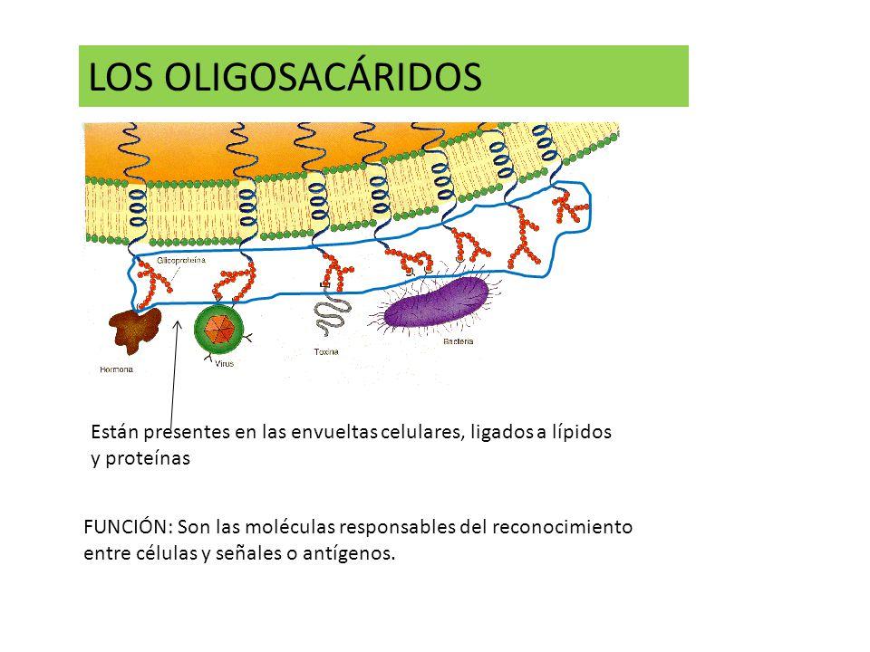 LOS OLIGOSACÁRIDOS FUNCIÓN: Son las moléculas responsables del reconocimiento entre células y señales o antígenos.