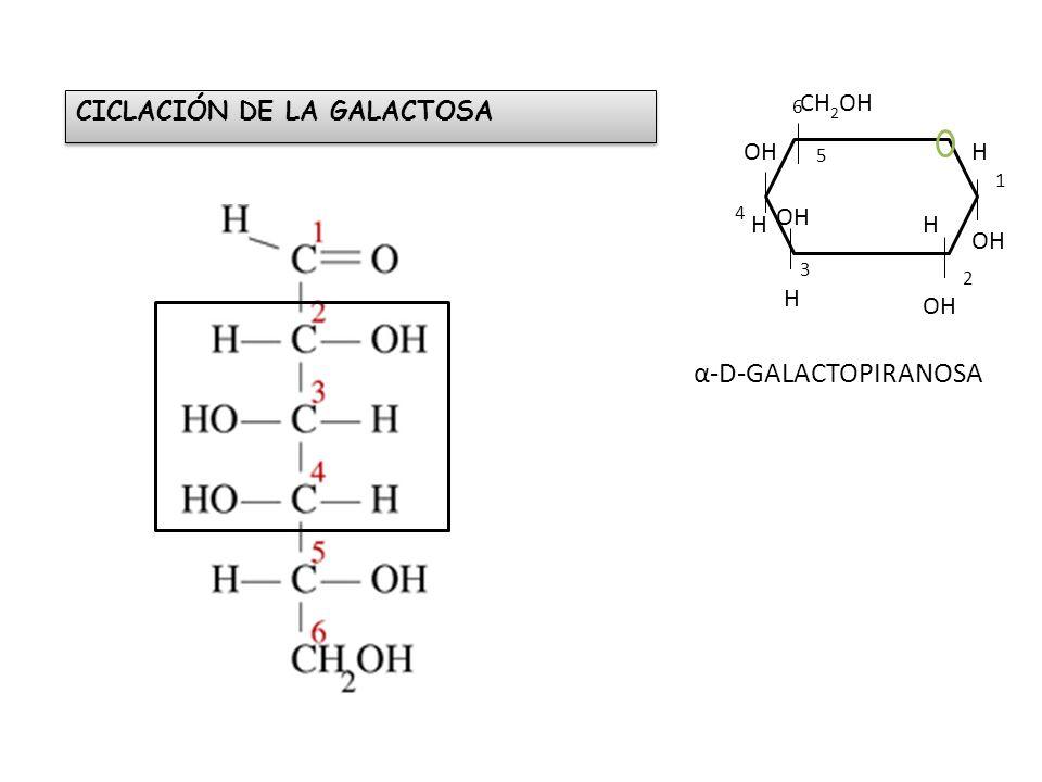 CICLACIÓN DE LA GALACTOSA 1 2 3 4 5 6 OH H H CH 2 OH OH H α-D-GALACTOPIRANOSA OH H