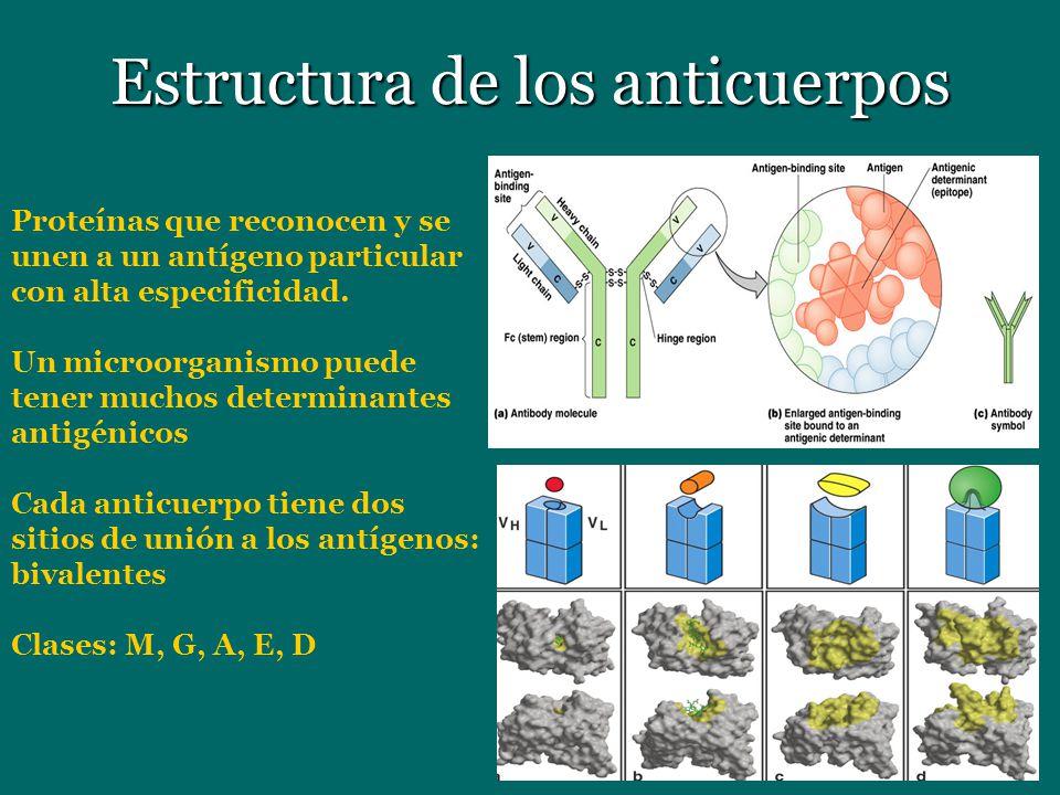 Estructura de los anticuerpos Proteínas que reconocen y se unen a un antígeno particular con alta especificidad. Un microorganismo puede tener muchos