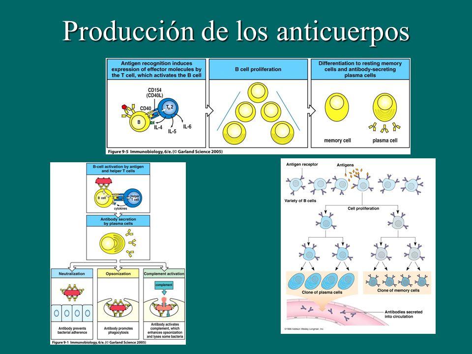 Producción de los anticuerpos