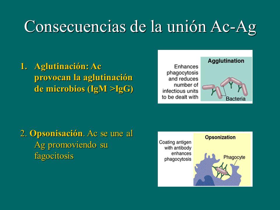 Consecuencias de la unión Ac-Ag 1.Aglutinación: Ac provocan la aglutinación de microbios (IgM >IgG) 2. Opsonisación. Ac se une al Ag promoviendo su fa