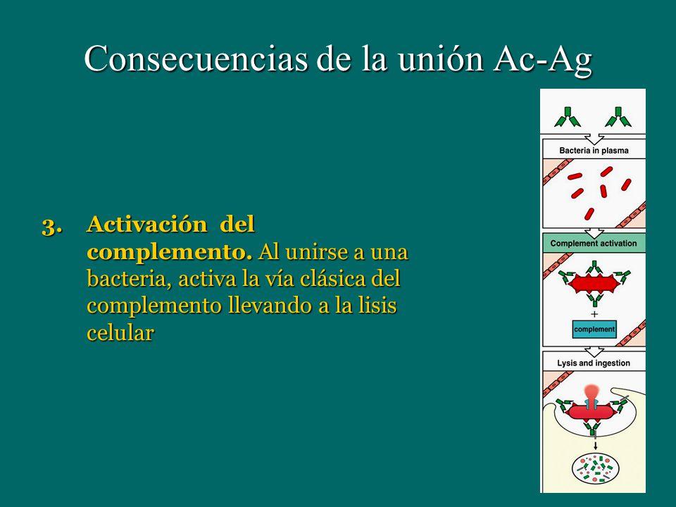 Consecuencias de la unión Ac-Ag 3.Activación del complemento. Al unirse a una bacteria, activa la vía clásica del complemento llevando a la lisis celu