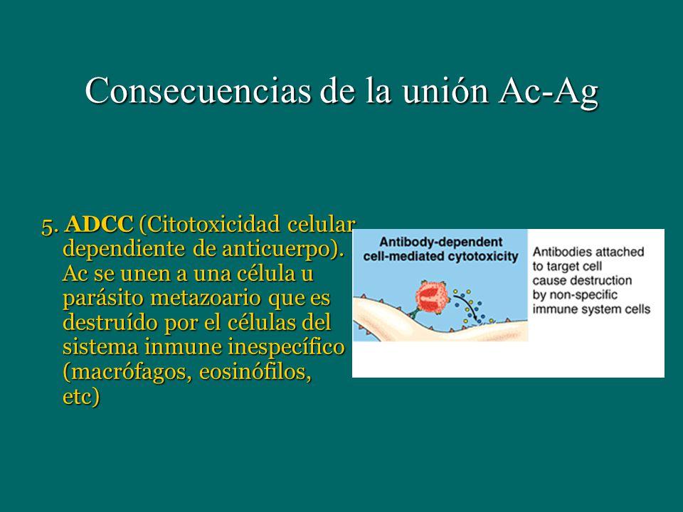 Consecuencias de la unión Ac-Ag 5. ADCC (Citotoxicidad celular dependiente de anticuerpo). Ac se unen a una célula u parásito metazoario que es destru