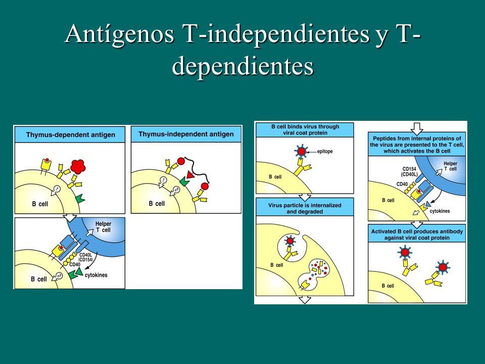 Antígenos T-independientes y T- dependientes