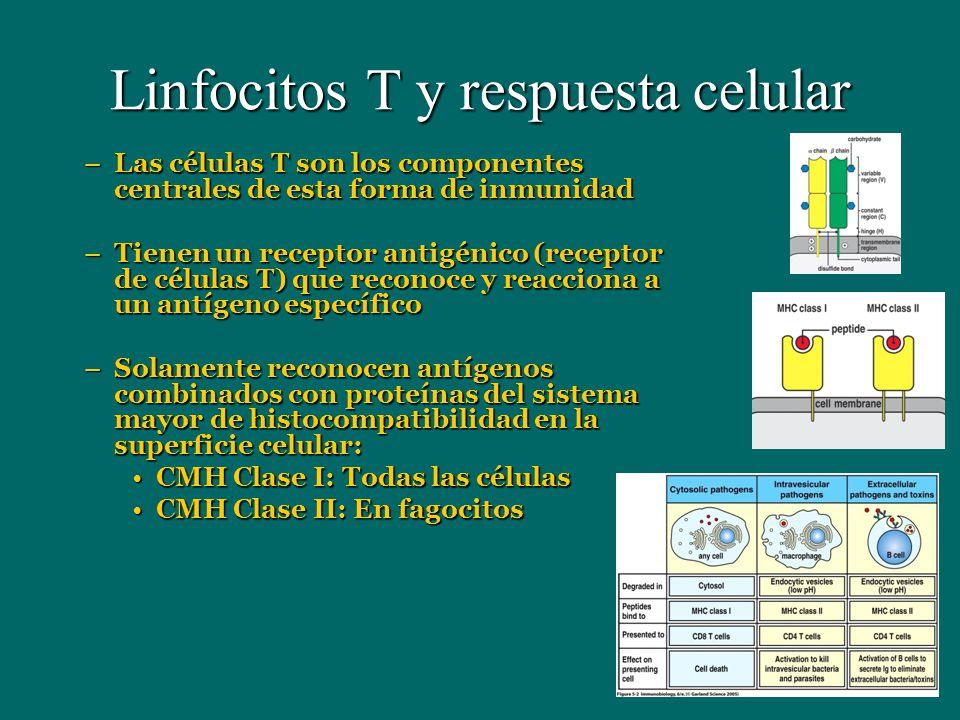Linfocitos T y respuesta celular –Las células T son los componentes centrales de esta forma de inmunidad –Tienen un receptor antigénico (receptor de c