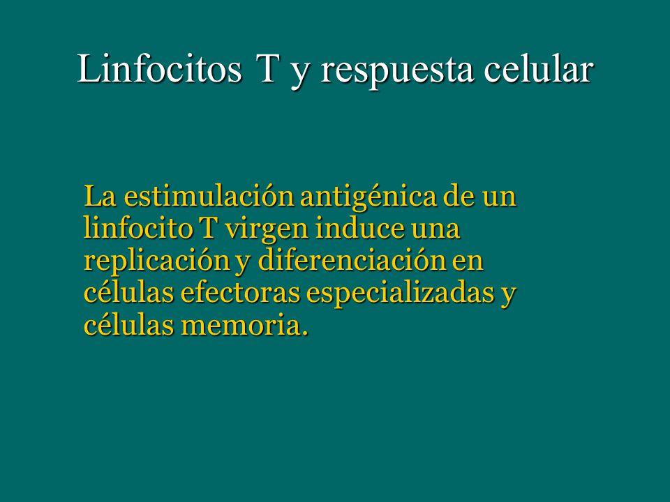 Linfocitos T y respuesta celular La estimulación antigénica de un linfocito T virgen induce una replicación y diferenciación en células efectoras espe