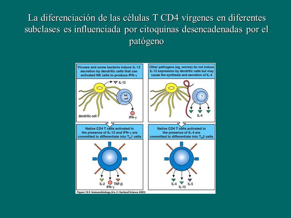 La diferenciación de las células T CD4 vírgenes en diferentes subclases es influenciada por citoquinas desencadenadas por el patógeno