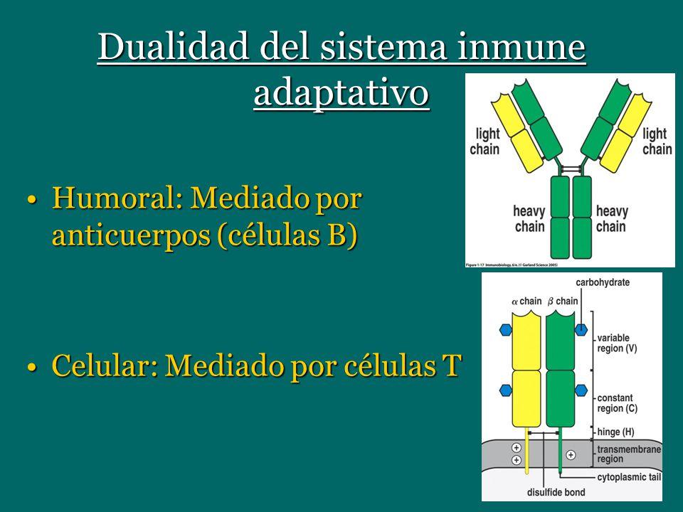Dualidad del sistema inmune adaptativo Humoral: Mediado por anticuerpos (células B)Humoral: Mediado por anticuerpos (células B) Celular: Mediado por c