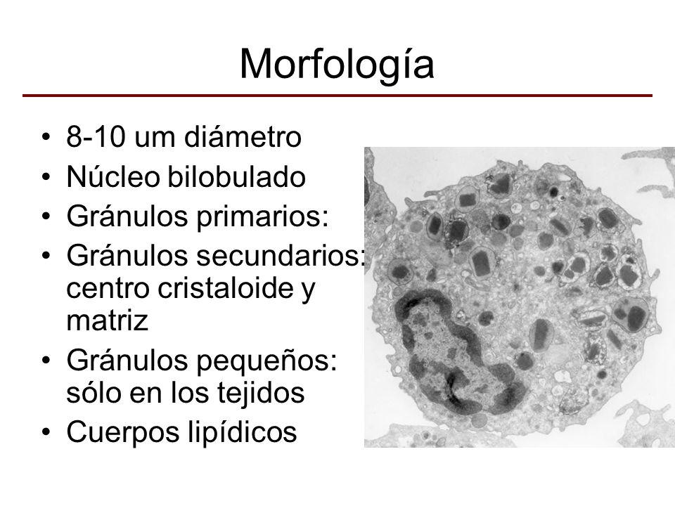 Morfología 8-10 um diámetro Núcleo bilobulado Gránulos primarios: Gránulos secundarios: centro cristaloide y matriz Gránulos pequeños: sólo en los tej