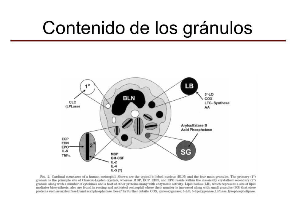 Gránulos Secundarios Proteína Básica Mayor Peroxidasa del Eosinófilo Proteína Catiónica del Eosinófilo Neurotoxina derivada del Eosinófilo Citoquinas: IL-2, IL-4, IL-5, GM-CSF, TNFα