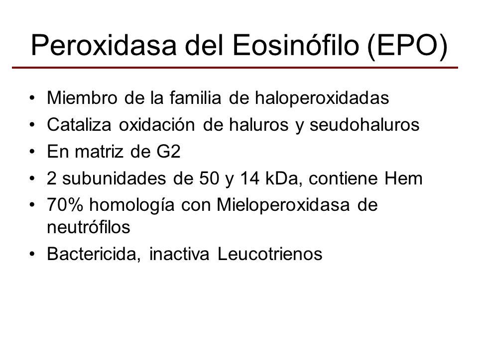 Peroxidasa del Eosinófilo (EPO) Miembro de la familia de haloperoxidadas Cataliza oxidación de haluros y seudohaluros En matriz de G2 2 subunidades de